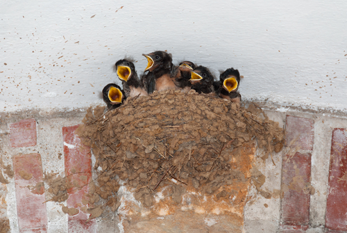 ツバメ 雛 孵化 鳴き声