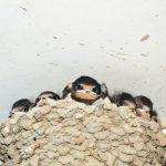 ツバメが巣作りして産卵するのは7月末まで
