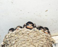 ツバメ 巣作り 産卵 7月