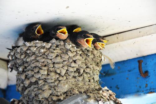 ツバメ 雛 巣の中