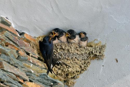 ツバメ 巣 放置