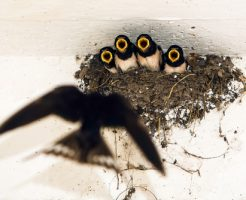 ツバメ 巣立ち 巣作り いつ