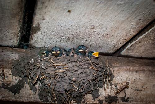 ツバメ 巣 いない