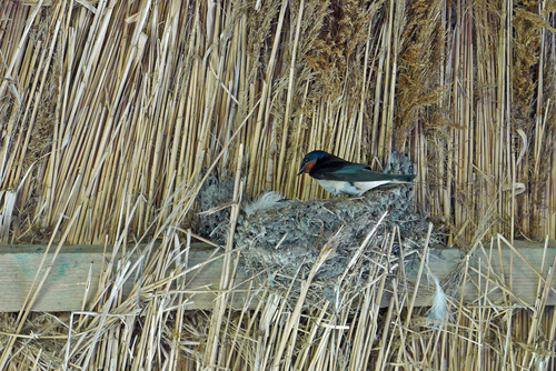 ツバメ 巣作り 一羽