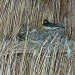 ツバメの巣はスズメに乗っ取りされる?