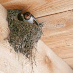 ツバメの巣作りはオス、メスの共同作業です。