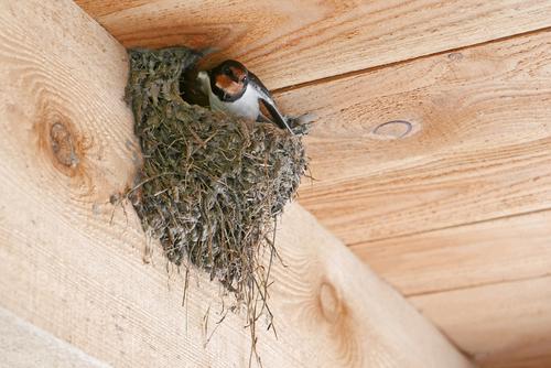 ツバメ 巣作り 遅い