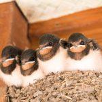 ツバメの雛の飼育について