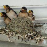 ツバメの巣作りの方法と巣立ちについて
