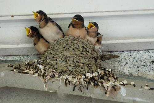 ツバメ 巣作り 抱卵