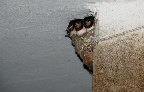 ツバメ 孵化 温度