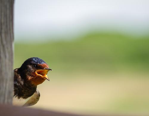 ツバメ 放鳥 失敗