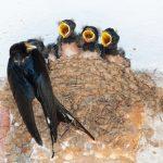 ツバメが玄関に巣作りすると縁起がいいのでしょうか