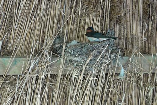 ツバメ 巣作り 習性