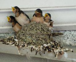 ツバメ 巣作り 途中