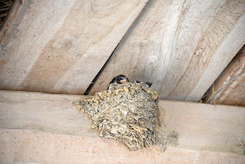 ツバメ 巣 作らせない