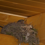 ツバメの巣作りを人間がお手伝いしても大丈夫?