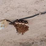 ツバメの巣作りはいつごろ始まる?移動させても大丈夫?