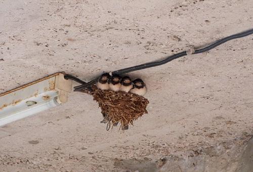 ツバメ 巣作り 移動