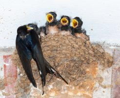 ツバメ 抱卵 子育て 夜