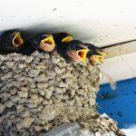 ツバメの巣の中で雛が亡くなっていた場合の対処法