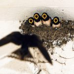 ツバメの巣を狙うカラス対策と対策をする時期とは