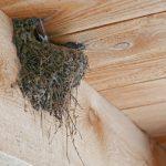 ツバメはつがいで巣作りと子育てをする!