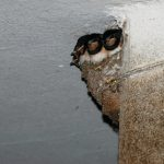 ツバメの卵が孵化するのは適切な温度が必要!