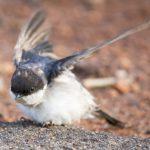 ツバメのヒナが巣から落下する原因は何?