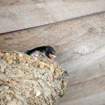 ツバメの巣を壊すと法律にひっかかるの?