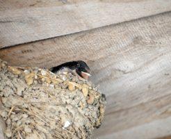 ツバメ 巣 壊す 法律